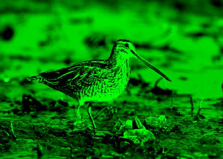 Common snipe captured by night vision camera